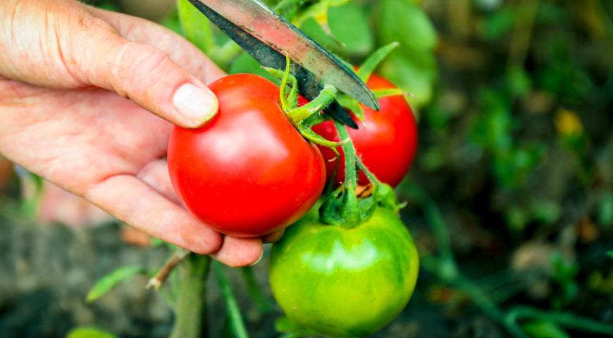 Как собирать томаты