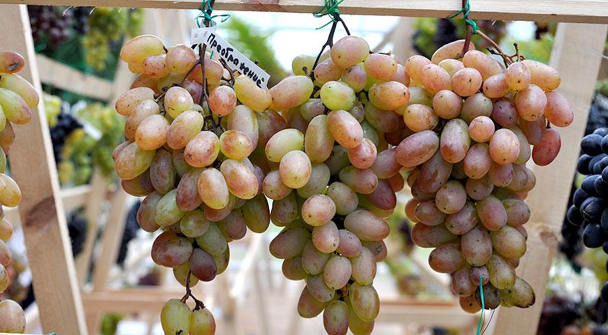 макро это средние сорта винограда фото и описание налитые соком плоды