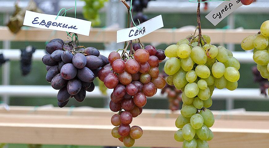 Какой сорт винограда лучше для подмосковья