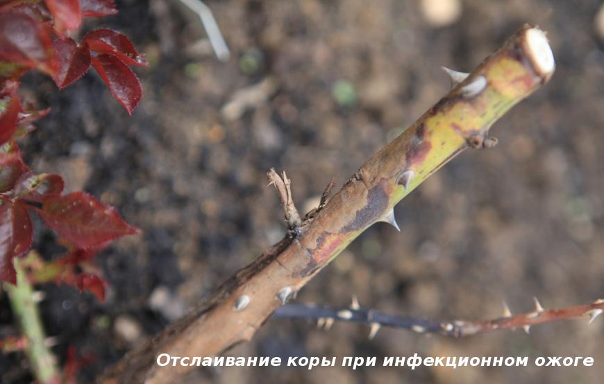 Инфекционный ожог розы