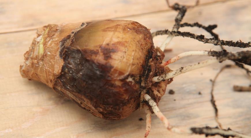 пораженная красным ожогом луковица гиппеаструма