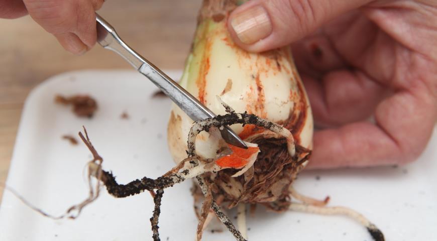 зачистка больной луковицы гиппеаструма от пораженных красным ожогом тканей