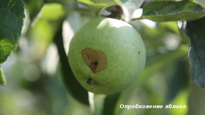 Опробковение яблока