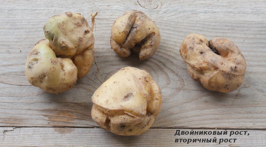 Двойниковый рост картофеля