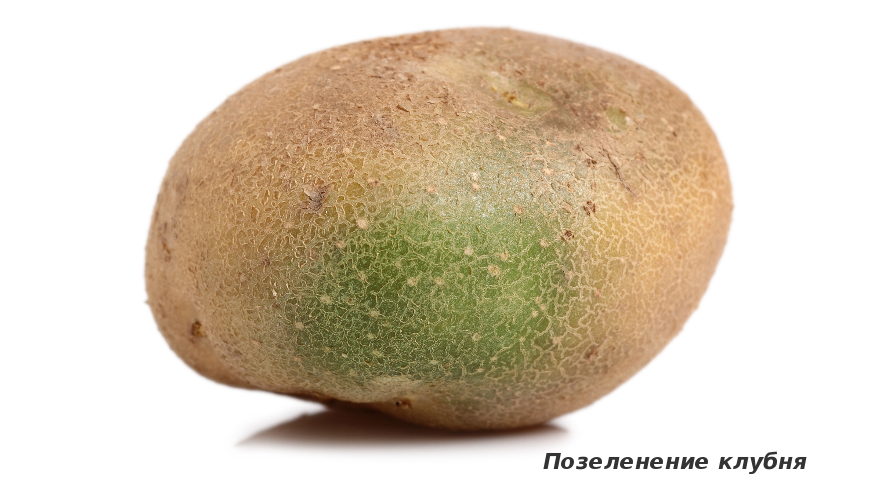 Позеленение картофеля