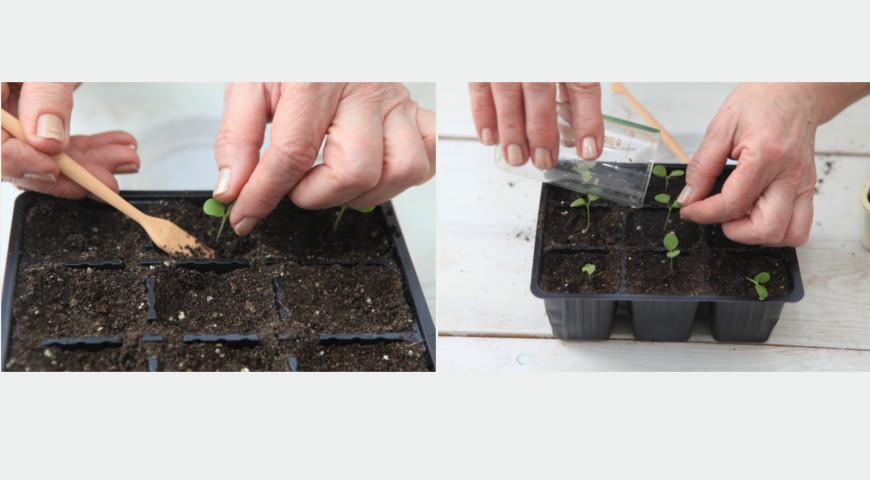 Выращивание левкоя и маттиолы: от посева семян на рассаду до цветения