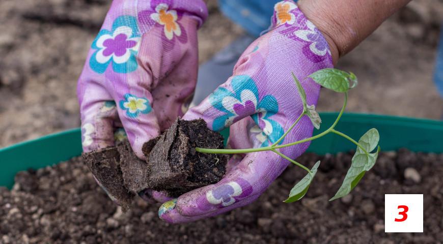 Как посеять ипомею на рассаду