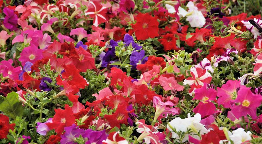 петуния многоцветковая