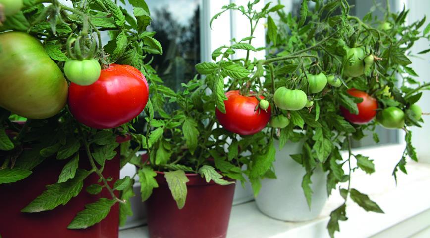 """Результат пошуку зображень за запитом """"томаты на подоконнике зимой"""""""