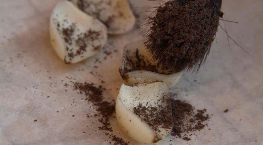 размножение лилии чешуйками, припудривание серй с золой