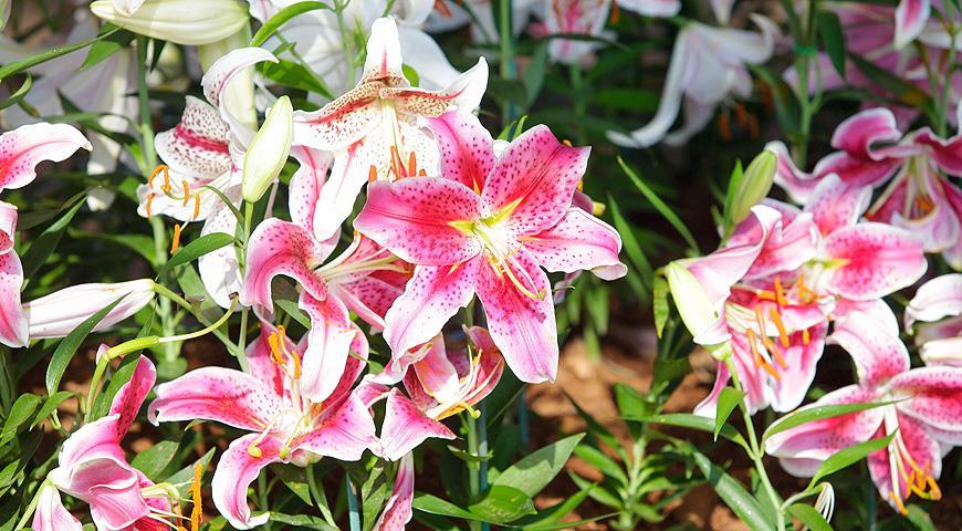 Секреты успеха в выращивании восточных лилий