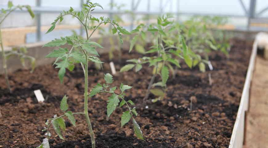 Рассада помидор в грунт 89