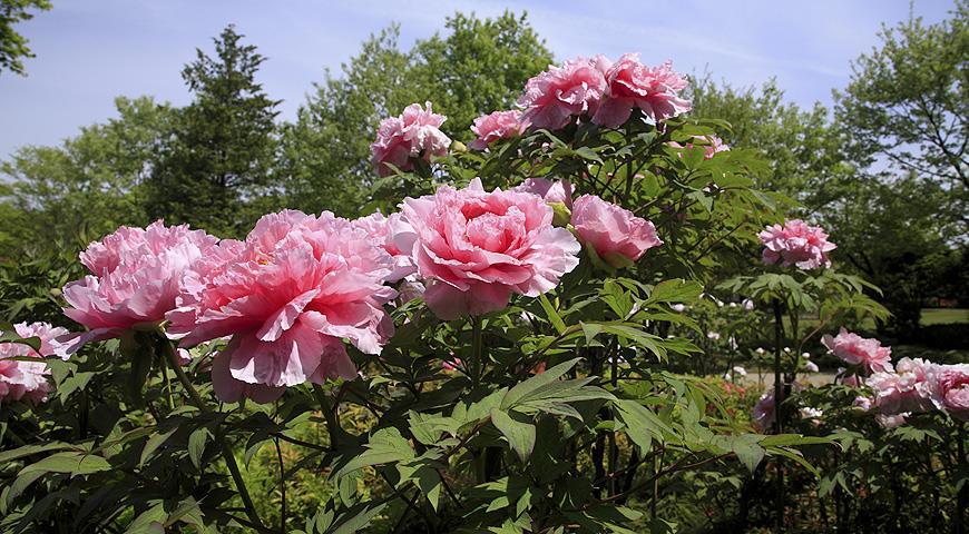 Посадить высокие кустарники