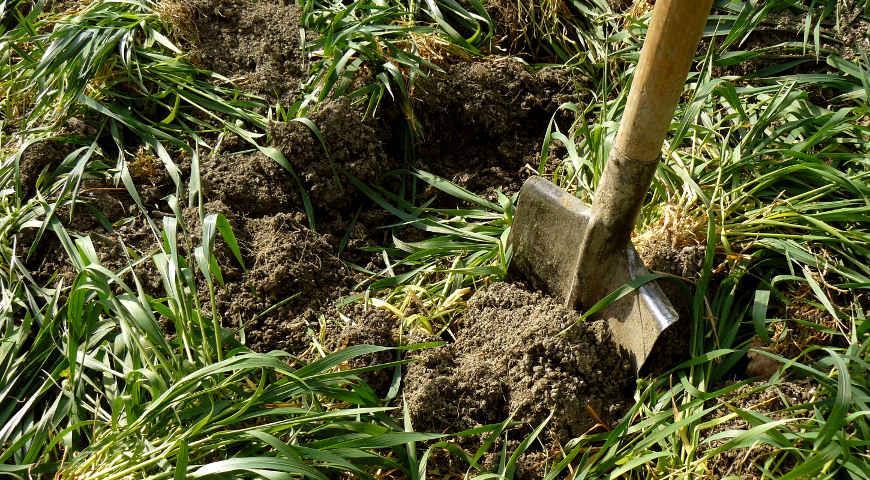 Сидерати: як правильно вибрати для посіву на грядки
