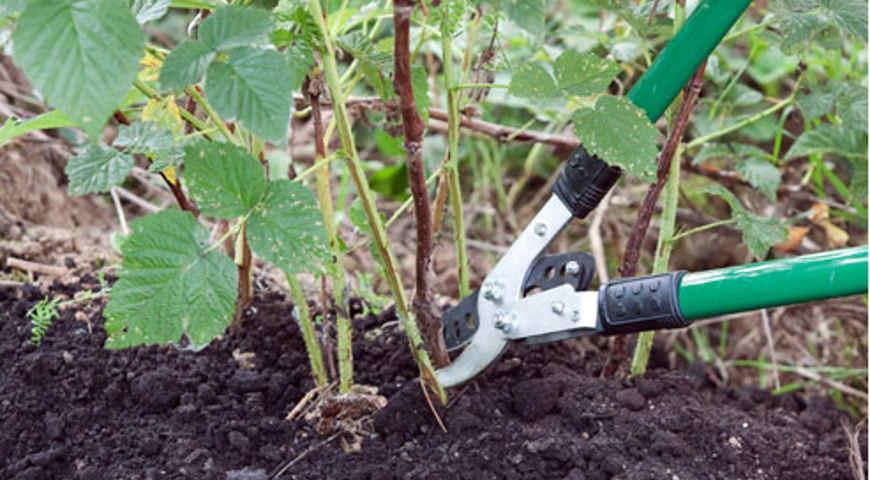 как правильно посадить и обрезать малину
