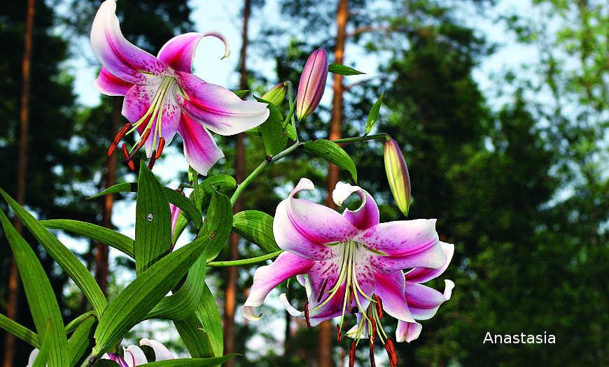 Растение Лилия: фото, сорта, выращивание, посадка и уход в открытом грунте
