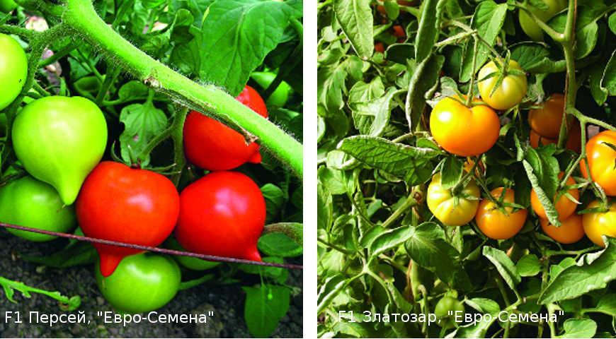 Помидоры на зиму: сорта для засолки и рецепты маринования || Самые лучшие томаты для консервирования