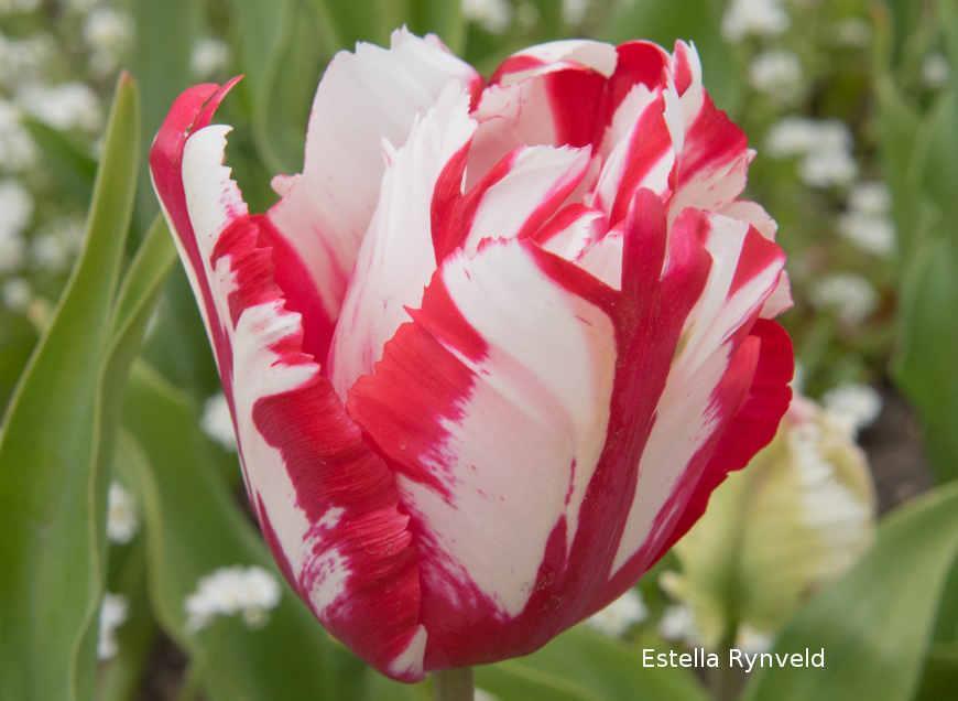 Серпень — саме час вибирати, які сорти тюльпанів у вас будуть цвісти навесні