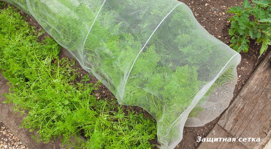 Морковь под защитной сеткой