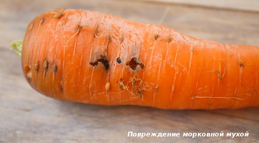 Повреждение моркови мухой
