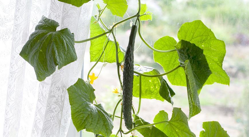 огурцы для выращивания в комнате