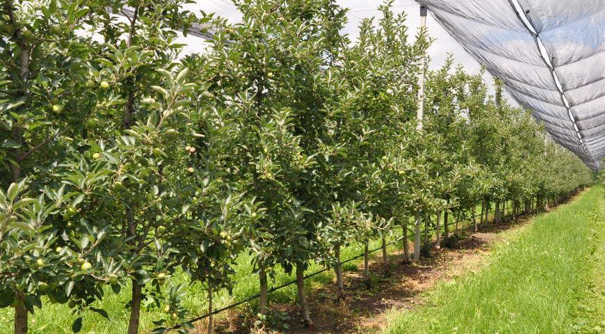 Яблуневий сад: сучасні технології