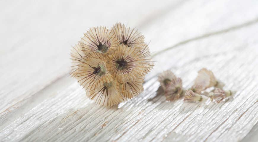 соцветие с семенами