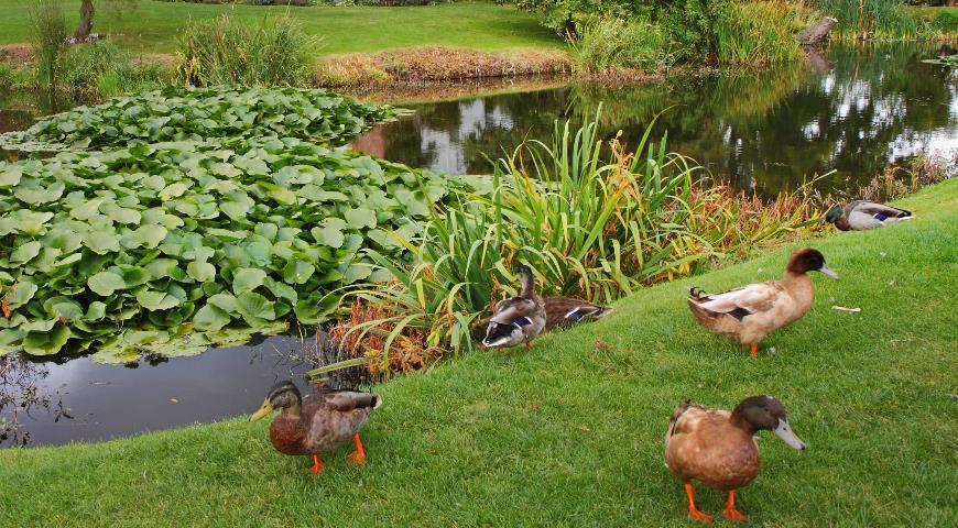 натургарден, сад, водоем, пруд, утка