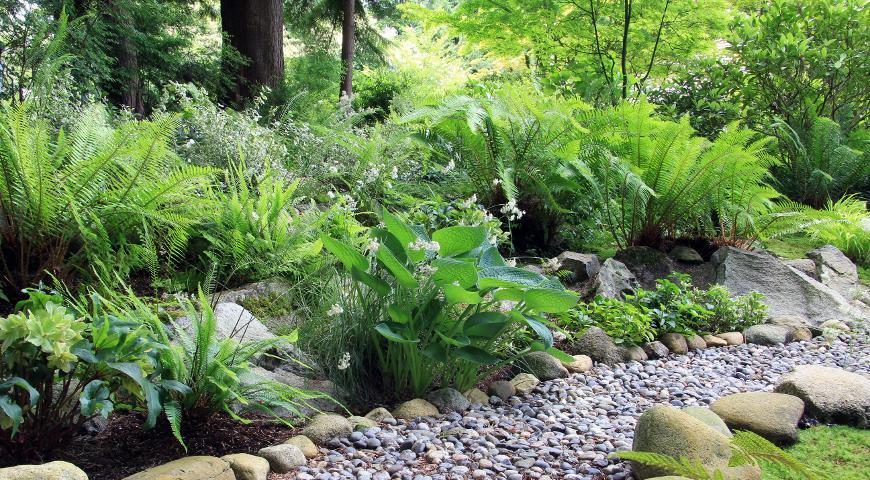 теневые растения, сад, дизайн сада, тень, папоротник, дорожка, гравий