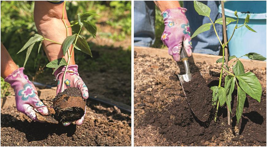 Вигна вкуснее и урожайнее спаржевой фасоли, посадите ее и не пожалеете!