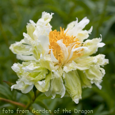 "Paeonia - ""Green Halo"""