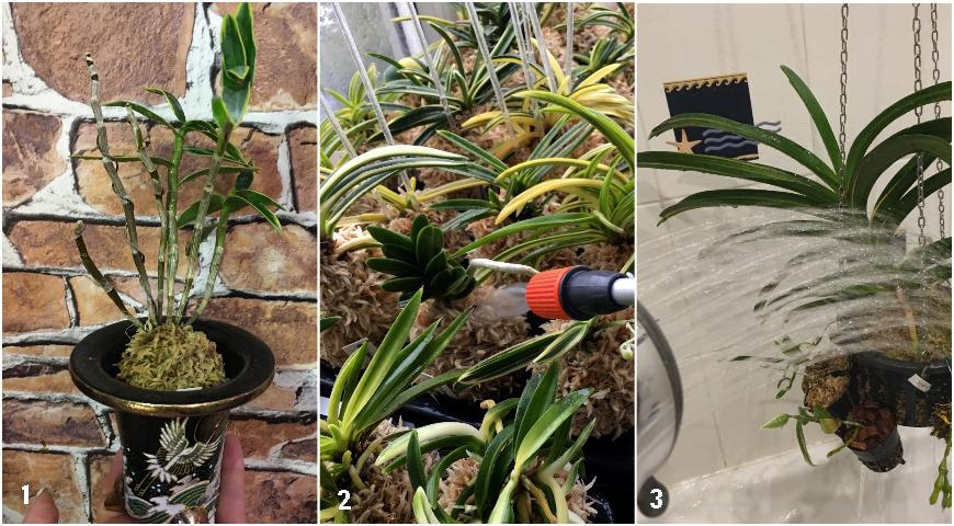 Как правильно поливать орхидеи: советы Елены Костровой, коллекционера редких растений