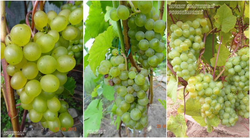 Самые лучшие сорта винограда для вина