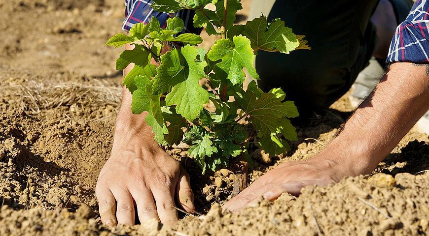 Как осень сажать виноград