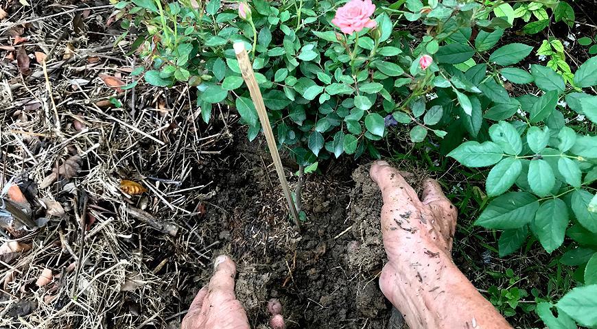 ГНІЙ – найпопулярніше органічне добриво: все про використання в саду і на городі