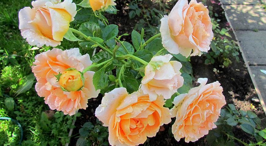 Как ухаживать за плетущейся розой осенью?