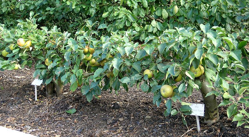 горизонтальное формирование яблони