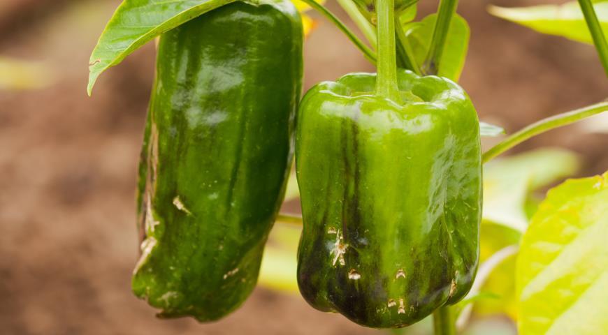 9 главных ошибок при выращивании перцев: не допускайте их и всегда будете с урожаем!