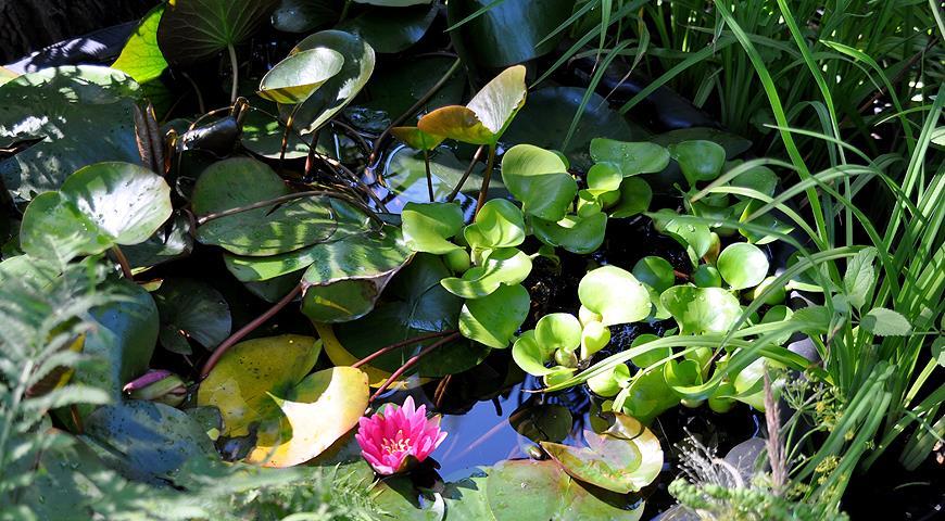 10 лучших растений для декоративного пруда