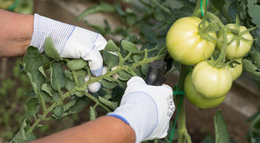 формирование томатов, удаление листьев