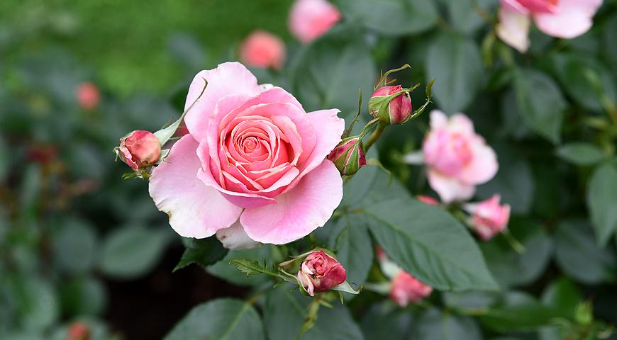 розарий, сорта роз,