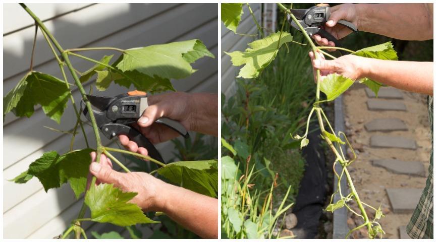 формирование винограда, чеканка