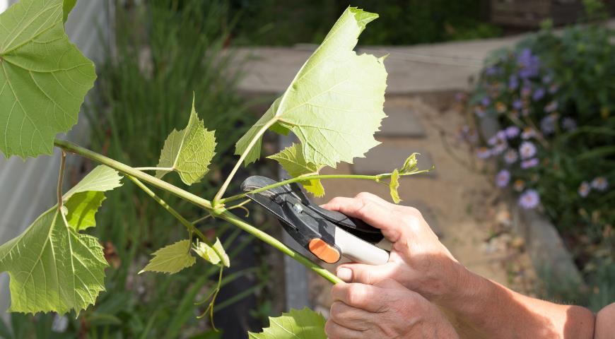 формирование винограда, удаление усов