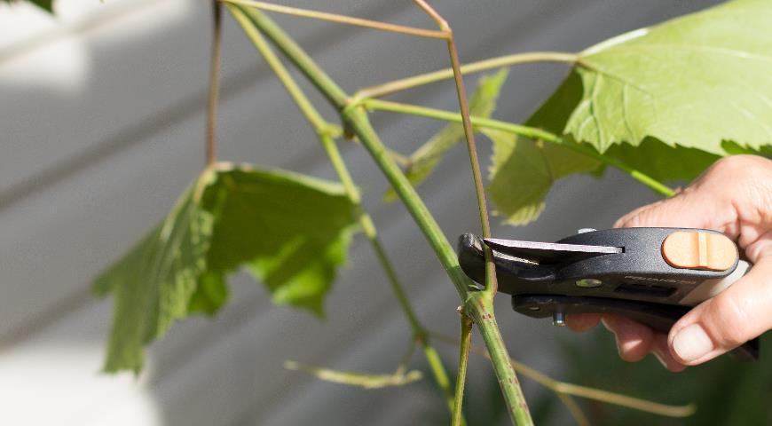 формирование винограда, пасынкование