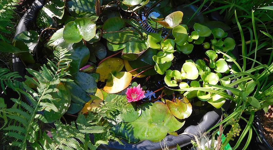 Нимфея: правила посадки растения, условия содержания в пруду