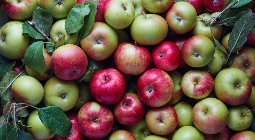 урожай, яблоки