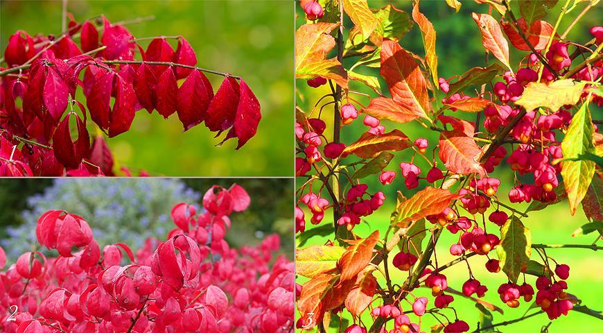 Неприхотливые деревья и кустарники с красивой осенней листвой