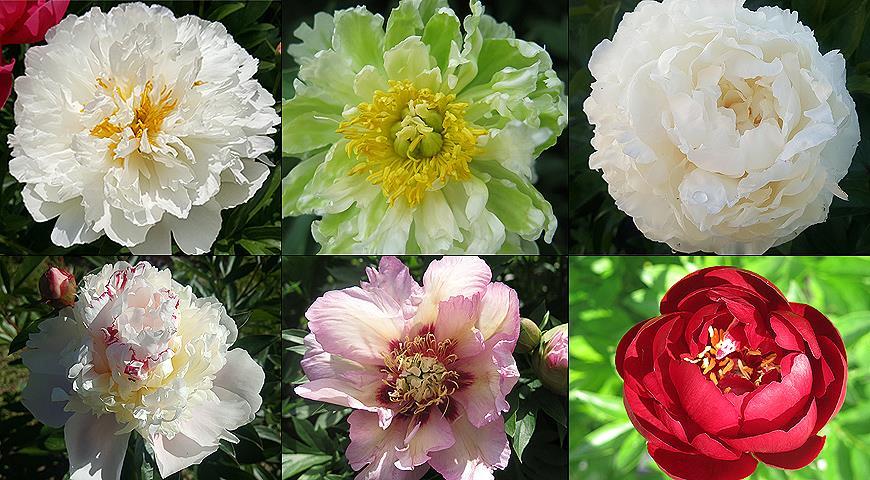 Коллекция пионов: как подобрать сорта для максимально длительного цветения