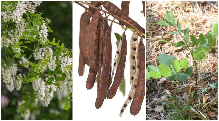 Робиния лжеакация (Robinia pseudoacacia)