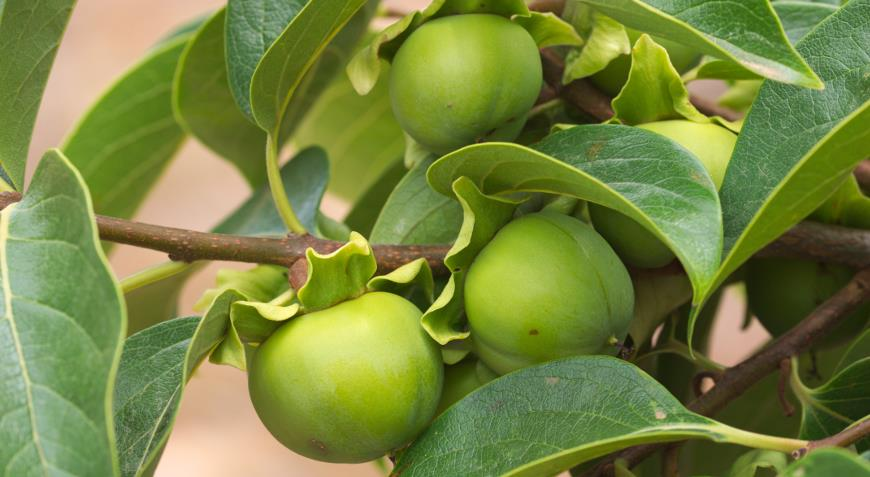 Хурма в саду: сорта, посадка, особенности ухода